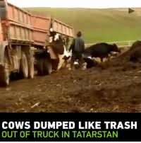 COWS DUMPED LIKE TRASH  OUT OF TRUCK IN TATARSTAN WARNING DISTRESSING FOOTAGE Cows dumped out of truck like garbage in Republic of Tatarstan
