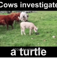 Tony Baker as the curious cows TonyBakerVoiceovers: Cows investigate  a turtle Tony Baker as the curious cows TonyBakerVoiceovers