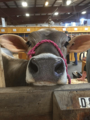 "Cows might not be on top of the ""cuteness"" chart, but this beaut and her velvet ears stole my heart at the county fair. (via): Cows might not be on top of the ""cuteness"" chart, but this beaut and her velvet ears stole my heart at the county fair. (via)"