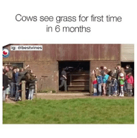 Memes, 🤖, and Grass: Cows see grass for first time  in 6 months  ig: bestvines ⠀ 🌱The Baby Calf At The End! 😂 ✅By @theladbible
