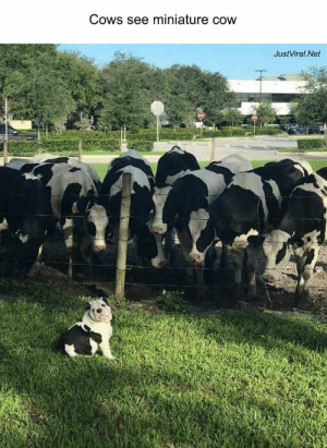 42 Funny Pictures Of Animals Doing Funny Things With Captions - JustViral.Net: Cows see miniature cow  JustViral.Net 42 Funny Pictures Of Animals Doing Funny Things With Captions - JustViral.Net