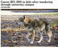News, Coyote, and Desk: Coyote $21.000 in debt after wandering  through university campus  THE NEWS DESK