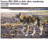 News, Tumblr, and Coyote: Coyote $21.000 in debt after wandering  through university campus  THE NEWS DESK @studentlifeproblems