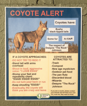 "obviousplant: Coyote Alert: COYOTE ALERT  Coyotes have:  Bushy  black-tipped tails  Some fur An EAR  The respect of  Dwayne ""The Rock""  Johnson  COYOTES ARE  IF A COYOTE APPROACHES:  DO NOT TRY TO RIDE IT  -Stand tall with arms  overhead  -Shout in loud, aggressive  voice: ""I LOVE EGGS""  -Stomp your feet and  repeatedly chant:  ""EGGS! EGGS! EGGS!""  -Do not turn your back or run  -Keep shouting ""EGGS!""  -Eventually, the coyote will  think you are crazy and leave  ATTRACTED TO:  -Trash  -Compost  -New age mysticism  -Outdoor pet food  -The pan flute  -Discarded blood  -Wizards  -Dwayne ""The Rock""  Johnson  If you see a coyote, please contact  your friends and tell them how cool  obrigusit is, trust me, they want to know.  plant obviousplant: Coyote Alert"