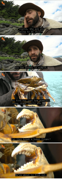 "Fire, Love, and Monster: ""Coyote, why are you  going to do this?""   And the answer is simple,   to find out just how powerful  these crabs really are   Can they break a human finger?   We're about to find out jacemp3: havanapitbull: its like marine biology Jackass  i love this guy 60% of every video is him rolling around on the floor screaming while his camera guy goes ""hey….. u ok?"" then 5 minutes later he gets up and is like ""ok folks, there u have it, the Satan DeathRay Fire Monster actually does cause pain when it bites u. science is great"""