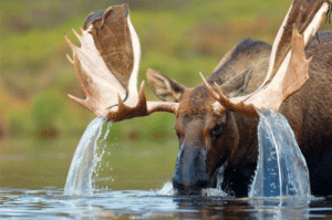 crappyanimalfacts:Every fortnight, Moosen return to the lake they emerged from at birth to refill its water supply from their magical ear tusks.: crappyanimalfacts:Every fortnight, Moosen return to the lake they emerged from at birth to refill its water supply from their magical ear tusks.
