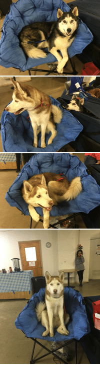 Funny, Chair, and Camp: crating or  grooming  NO  cratin Huskies stole my camp chair