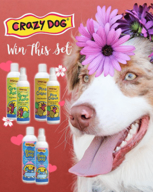 """It's CONTEST TIME!! 🌸 Share a photo of your """"Spring Themed Groom"""" and use the hashtag #CrazyDogSpringGrooming to be entered in to win all three sets of Crazy Dog 12 oz Shampoo & 8 oz Spritzes!!! Tuesday morning at 11:00 am MST will be the cut off to submit your photos 📸 Winner will be announced on the afternoon of 4/16! We can't wait to see what you come up with 💓 🌱 Good luck Groomers!! . . . . This promotion is in no way sponsored, endorsed, administered by or associated with Facebook.: CRaZy DoG  Crary  Pina  Coled Pina  Dog Shan  Dog Shamps  For Dogs  For Doge  aby  Dog Bab  0 It's CONTEST TIME!! 🌸 Share a photo of your """"Spring Themed Groom"""" and use the hashtag #CrazyDogSpringGrooming to be entered in to win all three sets of Crazy Dog 12 oz Shampoo & 8 oz Spritzes!!! Tuesday morning at 11:00 am MST will be the cut off to submit your photos 📸 Winner will be announced on the afternoon of 4/16! We can't wait to see what you come up with 💓 🌱 Good luck Groomers!! . . . . This promotion is in no way sponsored, endorsed, administered by or associated with Facebook."""
