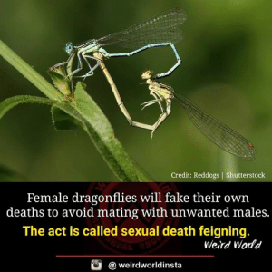 The Act: Credit: Reddogs | Shutterstoclk  Female dragonflies will fake their own  deaths to avoid mating with unwanted males.  The act is called sexual death feigning.  Weird World  a weirdworldinsta