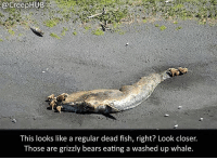 Creepy, Memes, and Bears: @creepHUB  This looks like a regular dead fish, right? Look closer.  Those are grizzly bears eating a washed up whale. Nature, you scary. • • • • CreepHUB • • • • • • • • • • • • • • • • • • • • • • • • • • • • • • • ----------------------------------------- -------------------- horrorstories horrorstory horrorfacts horrorfact creepypasta unknownfact horrorstories horrorstory horrorfacts horrorfact creepypasta unknown horrifyingthing things scary scarystories creepystories creepy creepyfacts creepyfact scaryfacts scaryfact horrorstories horrorstory horrorfacts horrorfact creepypasta unknownfact horrorstories horrorstory horrorfacts horrorfact creepypasta unknownu horrifyingthing things conspiracy theories theory theoryconspiracy conspiracytheory conspiracytheories