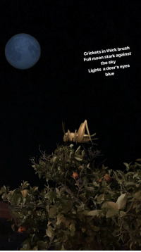crickets: Crickets in thick brush  Full moon stark against  the sky  Lights a deer's eyes  blue