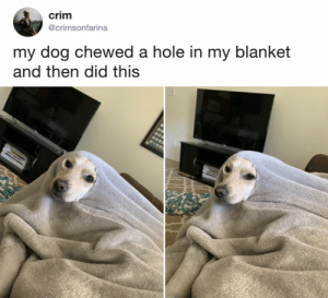 Dank, 🤖, and Her: crim  @crimsonfarina  my dog chewed a hole in my blanket  and then did this Tell Cersei, I want her to know it was me.  By crimsonfarina | TW