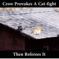Interference!: Crow Provokes A Cat-fight  Then Referees It Interference!
