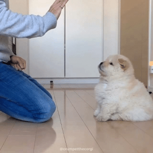 Club, Dank, and Videos: crumpetthecorgi What a patient little floofer By crumpetthecorgi | IG  Join The Barked Club for more adorable dog videos!