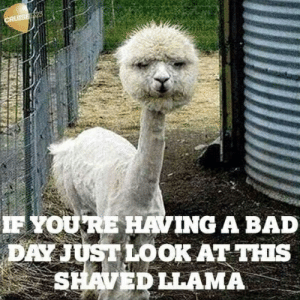 Bad, Bad Day, and Day: CRUTSEL323  IF YOURE HAVING A BAD  DAY JUST LOOK AT THIS  SHAVED LLAMA