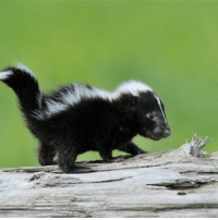 crying bc I want a baby skunk -a @ughz: crying bc I want a baby skunk -a @ughz