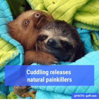 "Definitely, Memes, and Definition: Cuddling releases  natural painkillers  @FACTS I guff.com Oxytocin, known as the ""cuddle hormone"" is released during an embrace or cuddle sesh. Recent research shows that a dose of oxytocin can dramatically decrease headaches, or even eliminate them completely. It's definitely worth a try!"