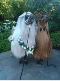Beautiful, Tumblr, and Blog: cuddlingwithsatan:  ottermatopoeia:what a beautiful wedding  said a bridesmaid to a waiter  the poor grooms bride is a llama