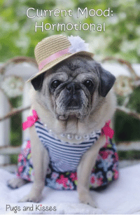 Love, Memes, and Mood: Current Mood:  Hormotional  Pugs and Kisses :P  Love you all to pieces!!! Happy Thursday to you! ~ Zoe Elizabeth