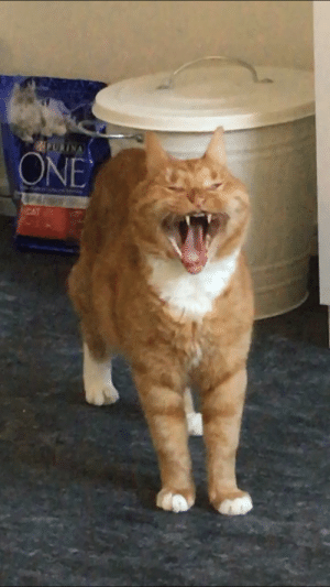 Cat, Picture, and Yawning: cursed picture of my cat yawning