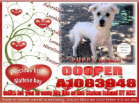 """SAVED according to ACC :)  ***PUPPY ALERT*** Returned for """"No Time"""", precious little 1 year young Maltese boy COOPER A1083948 waits for you once more to save his life at the Staten Island NY ACC. His bags are packed & he is ready to go home with you. Inquire about him now before it is too late!  ✔Pledge✔Tag✔Share✔Foster✔Adopt✔Save a life!  **FOSTER or ADOPTER NEEDED NOW** Apply with rescues or message Must Love Dogs - Saving NYC Dogs immediately!!!!  ATTENTION:  If you have a spot in your life for this little nugget, please DO adopt. If you cannot adopt, please apply with rescues to FOSTER (it's free!). Either way you would be saving a life as this little one is in a high-kill shelter. Just DO IT! Please!!  PLEASE NOTE:  The general rule is to foster you have to be within 4 hours of the New Hope Partner rescues you are applying with and to adopt you will have to be in the general NE US area; NY NJ CT PA DC MD DE NH RI MA VT ME (some rescues will transport to VA) unless you can get there in person. Thank you for caring. <3  For more information or to inquire about this precious little one, please email Adoption@NYCACC.org - SUBJECT Line: Enter animal ID number and the shelter location - Don't forget to add your email address and phone numbers where they can reach you to your email as well.  COOPER aka NELLY A1083948 http://petharbor.com/pet.asp?uaid=NWYK1.A1083948 I am a neutered, white Maltese mix. The shelter staff think I am about 1 year old. I have been at the shelter since May 3, 2017 because my owner all of the sudden had no time for me anymore. :(  Medical Behavior Evaluation GREEN  Medical Notes Scanned positive with Chip #981020017758923  BARH – bouncy, appreciates attention, allows all handling. Ears, eyes, nose, throat clear Teeth white Coat clean – no flea dirt or parasites noted Ambx4 Nails medium NOSF Weight 14.2  RE: Petharbor Just because a dog is not on Petharbor does not mean they are safe by any means. There are many reasons for this like a hold or"""