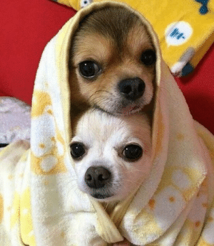 IG TheFunnyintrovert Si Chica the Chihuahua | Chihuahua Meme