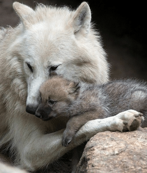 cute-dangerous:  At the Berlin Zoo in Germany, a 1-month-old wolf pup is seen snuggling up to its mother: cute-dangerous:  At the Berlin Zoo in Germany, a 1-month-old wolf pup is seen snuggling up to its mother