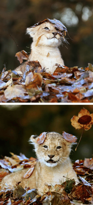 cute-dangerous:  Nothing could possibly be cuter than this lion cub playing in a pile of leaves: cute-dangerous:  Nothing could possibly be cuter than this lion cub playing in a pile of leaves