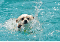 Cute dog in a swimming pool with sunny day.: Cute dog in a swimming pool with sunny day.