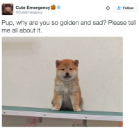 tell us, pup!: Cute Emergency  o  Follow  2CuteEmergency  Pup, why are you so golden and sad? Please tell  me all about it. tell us, pup!