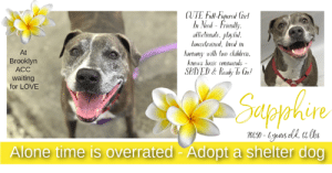 "Being Alone, Animals, and Cats: CUTE Fall-Fiqured Girl  In Ned- Friendly  afictionate, playful  housetrained. ived in  hartony with two children  knows basic comtuands --  SPAYED&Ready To Go!  At  Brooklyn  ACC  waiting  for LOVE  Saseyahire  Alone time is overrated- Adopt a shelter dog TO BE KILLED - 8/20/2019  ALONE TIME IS OVERRATED - ADOPT A SHELTER DOG <3 Sapphire is in need of a second chance in a good home. Instead of her former family making a few adjustments to keep the entire family together they just decided to throw Sapphire away. Now, at a time when she should be enjoying her home and family, she's stuck in a shelter and slated to lose her life if no one else sees what a true gem she is and her potential. Sapphire already lived in harmony with children and does well when meeting new people. She'll need a meet and greet to ensure she's a good match with another four-legged roommate but she's been known to do well. Sapphie is also housetrained and spayed so she's all ready to go and be a part of an awesome family but she needs her hero to be prompt because she is out of time at the Brooklyn shelter. Please don't wait.   SAPPHIRE@BROOKLYN ACC Hello, my name is Sapphire My animal id is #70450 I am a desexed female brown brindle dog at the  Brooklyn Animal Care Center The shelter thinks I am about 6 years old, 64 lbs Came into shelter as owner surrender 7/26/2019 Reason stated animal behavior - aggressive to other animals Sapphire is rescue only  I came to the shelter with my sister Ruby, Id 70449, also on the list to die :-( : https://www.facebook.com/mldsavingnycdogs/photos/a.112459638940315/1045885488931054/?type=3&theater  Sapphire is at risk for behavior concerns. Although she displays social behavior when interacting with staff members, Sapphire has been observed to exhibit a high level of anxiety during her interactions. Due to these observations, as well as her multiple-bite history toward other dogs, we feel she would be best set up to succeed if placed with an experienced rescue partner who can help manage these behaviors and decompress in a more stable environment, prior to permanent placement in an adult-only home. There are stipulations with placement. She is obese but appears otherwise healthy.  My medical notes are... Weight: 64.4 lbs Vet Notes 7/26/2019 DVM Intake Exam Estimated age: 6y Microchip noted on Intake? yes History : owner surrender Subjective: BARH, no appetite, no elimination concerns Observed Behavior - mildly timid but allowed all handling Evidence of Cruelty seen - no Evidence of Trauma seen - no Objective P = wnl R = wnl BCS 7/9  EENT: Eyes clear, ears AU mild erythema, no nasal or ocular discharge noted Oral Exam: adult dentition, mild attrition PLN: No enlargements noted H/L: NSR, NMA, CRT < 2, Lungs clear, eupnic ABD: Non painful, no masses palpated U/G: female spayed, scar noted, no leakage or discharge MSI: Ambulatory x 4, skin free of parasites, no masses noted, healthy hair coat CNS: Mentation appropriate - no signs of neurologic abnormalities Rectal: visually normal  Assessment otitis ext - suspect allergies overweight  Prognosis: excellent  Plan: rec weight loss tresaderm 4 drops AU BID until 8/1 rec derm consult with placement  SURGERY: spayed   8/1/2019  Progress exam History:  Intake 7/26/19: Owner surrender, noted otitis externa, overweight. Started tresaderm. Today, 8/1: Recheck otitis  Subjective:  BAR, no coughing/sneezing/vomiting/diarrhea. No pruritus or discomfort noted by ACS or behavior staff.  Objective:  Cageside exam performed.  Eyes: Clear bilaterally, no discharge Nasal Cavity: No nasal discharge.  Lungs: Eupneic Musculoskeletal: Ambulatory x 4 with no appreciable lameness.  Integument: Unremarkable haircoat.  Neuro: Appropriate mentation.   Assessment: -Otitis externa (resolved) -Overweight  Prognosis: Good  Plan: -Okay to d/c tresaderm -Recommend dermatology consult, weight loss with placement  8/15/2019  Progress exam-longterm stay  History : Intake 7/26/19-otitis, overweight. Started on tresaderm  Subjective: BARH. No csvd. Nervous, whale eyes, panting, head flipping.  Objective  P = wnl R = wnl BCS = 6/9 EENT: Eyes have nuclear sclerosis ou, ears clean, no nasal or ocular discharge noted Oral Exam: clean adult dentition, no oral lesions PLN: No enlargements noted H/L: NSR, NMA, CRT < 2, Lungs clear, eupneic ABD: Non painful, no masses palpated U/G: FS, no MGTs, no vulvar d/c MSI: Ambulatory x 4, skin free of parasites, no masses noted, healthy hair coat CNS: Mentation appropriate - no signs of neurologic abnormalities  Assessment: Overweight  Prognosis: Excellent  Plan: CTM while at BACC Rec weight loss and BW with placement  Details on my behavior are... Behavior History Behavior Assessment Behavior during intake: Sapphire had a tense body and was lip licking during intake. Counselor was able to scan for a microchip, collar and take a picture without any issues  Date of Intake: 7/26/2019  Spay/Neuter Status: Spayed  Basic Information:: Sapphire is a 6 year old spayed female that has no current medical concerns that the owner is aware of. Owner had Sapphire in the home since she was born but had to surrender due to behavior  Previously lived with:: 2 Adults, 2 children, 2 other dogs  How is this dog around strangers?: When a stranger would come to the owners home, Sapphire was friendly and outgoing.  How is this dog around children?: Sapphire lived with 2 children ages 4 and 6 and was always respectful and playful with the children in the home  How is this dog around other dogs?: Sapphire with lived with other female dogs (same size). 1 female was spayed and 1 unaltered and was respectful around the other 2 dogs. Owner stated that she would someone get into a scuffle with the her litter mate but never never bit hard enough to break skin.  How is this dog around cats?: Sapphire has never been around a cat so behavior is unknown  Resource guarding:: Sapphire is not bothered if someone approaches her food, treats or toys  Bite history:: Sapphire has a bite history with the most recent bite being 2 weeks ago om 7/12/19.  Housetrained:: Yes  Energy level/descriptors:: Medium  Other Notes:: Sapphire is not bothered when someone would hold her or restrain her, being pushed off furniture, being disturbed while sleeping, being given a bath, having her paws touched or when an unfamiliar person would come to the owners home  Has this dog ever had any medical issues?: Yes  Medical Notes: Sapphire does not have any known medical concerns  For a New Family to Know: Sapphire is described as friendly, affectionate and playful with a medium activity level. She likes to play with all types of toys. In the home, Sapphire liked to stay in her favorite spot. She was fed dry food only brand Wellness. Sapphire was kept both indoor/outdoor and is house trained. When left alone in the home, she would go through the garbage. Sapphire knows the cues sit, come, stay , down and paw. For exercise, she was let out in the yard to play. When on leash, she tends to pull lightly. Owner has never walked her off leash so behavior is unknown.  ====================  Date of intake:: 7/26/2019  Spay/Neuter status:: Yes  Means of surrender (length of time in previous home):: Owner surrender  Previously lived with:: 2 Adults, 2 Children (4, 6), 2 Dogs (Large, Females)  Behavior toward strangers:: Friendly and outgoing  Behavior toward children:: Respectful and playful (w/resident children)  Behavior toward dogs:: Respectful; Sometimes scuffled (w/resident dogs)  Behavior toward cats:: Unknown  Resource guarding:: None reported  Bite history:: 7/12/19: Previous owner reported Sapphire and Ruby (70449) to have had a recent bite incident with a neighbor's dog that was being walked on-leash. Ruby and Sapphire were observed to escape from the backyard and began hard barking as they ran toward the neighbor's small dog and one of them bit her on the stomach. This bite resulted in two punctures and the neighbor's dog was rushed to the emergency vet to seek treatment for the wounds.  5/10/15: Previous owner reported Ruby and Sapphire to have had a bite incident with a neighbor's dog. Ruby and Sapphire were observed to escape from the backyard and began hard barking and growling as they ran toward the neighbor's dog and one of them bit her on the neck. This bite resulted in multiple punctures and the neighbor's dog was rushed to the emergency vet to seek treatment and ultimately euthanized as a result of the severity of the wounds.  Housetrained:: Yes  Energy level/descriptors:: Sapphire is described as friendly, affectionate and playful with a medium level of energy.  Summary:: Leash Walking Strength and pulling: Moderate-hard pulling Reactivity to humans: None Reactivity to dogs: None Leash walking comments:  Sociability Loose in room (15-20 seconds): Neutral body, tail wagging, ears back, panting, approaches readily, jumps up softly onto handler, accepts contact, licks handler Call over: Approaches with coaxing; Distracted, stays near door Sociability comments:   Handling  Soft handling: Neutral-tense body, tail wagging, ears erect, head tense, leans into handler, panting, lip licking, distracted by outside noises, accepts all contact Exuberant handling: Neutral-tense body, tail wagging, ears erect, head tense, leans into handler, panting, lip licking, distracted by outside noises, accepts all contact, shakes off Handling comments:  Arousal Jog: Engages in play with handler, soft and loose; On second pass, jumps up onto door, seeking exit Arousal comments:   Knock Knock Comments: Paces, pants, whining, lip licking and pulls hard toward door when assistant exits; No response to knock; Pulls hard toward door seeking exit when assistant enters, does not solicit attention  Toy  Toy comments: No interest; Distracted by door and seeking exit  Summary:: According to Sapphire's previous owner, she lived with other female dogs (same size). 1 female was spayed and 1 unaltered and was respectful around the other 2 dogs. The owner stated that she would sometimes get into a scuffle with her littermate but did not break the skin.   7/27: Due to Sapphire's potential legal hold status, only a gate greet was conducted with a novel male dog. She greets the male at the gate but is wary to interact with handlers and the other dog. She paces the pens seeking an exit.  Summary (1):: Sapphire understands the cues for ""sit,"" ""come,"" ""stay,"" ""down"" and ""paw.""  Date of intake:: 7/26/2019  Summary:: Tense, lip licked; Allowed all handling  Date of initial:: 7/26/2019  Summary:: Somewhat timid; Allowed all handling  ENERGY LEVEL:: Sapphire has been observed to exhibit a medium level of energy during her interactions in the care center. We cannot be certain of her behavior in a home environment, but we recommend that she be provided daily mental and physical stimulation as an outlet for her energy.  BEHAVIOR DETERMINATION:: New Hope Only  Behavior Asilomar: TM - Treatable-Manageable  Recommendations:: No children (under 13),Place with a New Hope partner  Recommendations comments:: No children (under 13): Due to Sapphire's reported bite history and observed level of anxiety, we feel she would be best set up to succeed in an adult-only home at this time.  Place with a New Hope partner: Although she displays social behavior when interacting with staff members, Sapphire has been observed to exhibit a high level of anxiety during her interactions. Due to these observations, as well as her multiple-bite history toward other dogs, we feel she would be best set up to succeed if placed with an experienced rescue partner who can help manage these behaviors and decompress in a more stable environment, prior to permanent placement in an adult-only home. Force-free, reward based training only is advised when introducing or exposing Sapphire to new and unfamiliar situations, as well as utilizing guidance from a qualified, professional trainer/behaviorist.  Potential challenges: : Anxiety,Strength/leash pulling,Bite history (dog)  Potential challenges comments:: Bite history (dog): Sapphire has been reported by her previous owner to have had two bite incidents with two different dogs. Both incidents occurred when both Ruby (70449) and Sapphire had escaped from the yard and bit a neighbor's dog, resulting in multiple punctures. (SEE BITE HISTORY). Please refer to the handout for Bite history (dog).   Anxiety: Sapphire exhibits anxious behavior during her interactions in the care center, where she has been observed to pant, pace, whine, seek an exit and is easily distracted by outside noises. Please refer to the handout for Generalized Anxiety.  Strength/leash pulling: Sapphire was observed to display leash pulling due to her strength. Please refer to the handout on Strength/leash pulling.  SAPPHIRE IS RESCUE ONLY…..TO SAVE THIS PUP YOU MUST FILL OUT APPLICATIONS WITH AT LEAST 3 NEW HOPE RESCUES. PLEASE HURRY!!!   IF YOU CAN FOSTER OR ADOPT THIS PUP, PLEASE PM OUR PAGE FOR ASSISTANCE. WE CAN PROVIDE YOU WITH LINKS TO APPLICATIONS WITH NEW HOPE RESCUES WHO ARE CURRENTLY PULLING FROM THE NYC ACC.  PLEASE SHARE THIS DOG FOR A HOME TO SAVE HER LIFE."