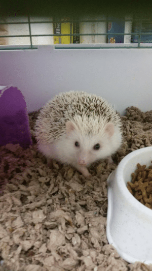 cute-hedgehogs:  What color would you say this little guy is?: cute-hedgehogs:  What color would you say this little guy is?