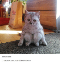 Cute, Memes, and Never: cute  I've never seen a cat sit like this before