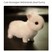 Cute Norwegian Netherlands dwarf bunny  @hilarious ted It's too fluffy