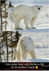Cute polar bear cub hitches a litt  on its mother's back