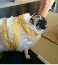 Being Alone, Cute, and Happy: Cute pug protection
