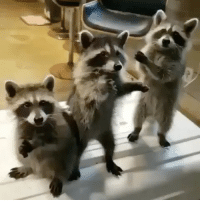 cute raccoons feed me: cute raccoons feed me