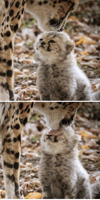 Cute, Tumblr, and Blog: cuteanimals-only: *lick