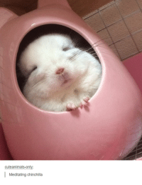 Meditation, Humans of Tumblr, and  Chinchillas: cuteanimals-only  Meditating chinchilla