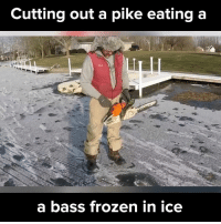 Memes, 🤖, and Bass: Cutting out a pike eating a  a bass frozen in ice Can you believe it? via - JukinMedia