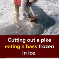 Frozen, Memes, and 🤖: Cutting out a pike  eating a bass  frozen  In Ice Wait, what? via - JukinMedia