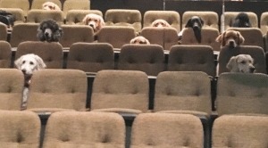 cyborgrabbit:  doggos-with-jobs:Service dogs training to sit through a movie at a theater.  Even better, these dogs are actually being trained to watch a PLAY. Picture that. There are actors. On the stage. Performing for dogs. : cyborgrabbit:  doggos-with-jobs:Service dogs training to sit through a movie at a theater.  Even better, these dogs are actually being trained to watch a PLAY. Picture that. There are actors. On the stage. Performing for dogs.