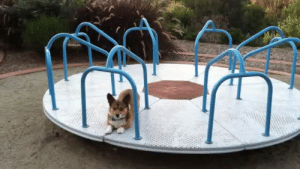 cycirish:  theonlylivingboyinnewyork:  ryandevon:  frizzyburr:  thebestoftumbling:    Corgi on a Carousel    HIS NAME IS MEATBALL  This is the cutest thing omg  I love this.   Can't not reblog Meatball the Corgi, plus the music! : cycirish:  theonlylivingboyinnewyork:  ryandevon:  frizzyburr:  thebestoftumbling:    Corgi on a Carousel    HIS NAME IS MEATBALL  This is the cutest thing omg  I love this.   Can't not reblog Meatball the Corgi, plus the music!
