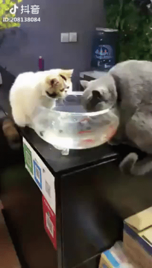 azaras-spirit: jennytrout:  ditzyalpaca: fish are friends. not food. I love how outraged the gray cat is.  that double take though LMAO : D 208138084 azaras-spirit: jennytrout:  ditzyalpaca: fish are friends. not food. I love how outraged the gray cat is.  that double take though LMAO