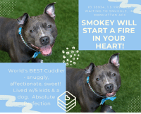 "Bad, Cats, and Children: D 30934 1.5 YR  WAITING TO SNUGGLE, IN  MANHATTAN ACC  SMOKEY WILL  START A FIRE  IN YOUR  HEART!  x)  World's BEST Cuddler  snuggly,  affectionate, sweet!  Lived w/5 kids &a  dog. Absolute  fection TO BE KILLED – 7/21/2018  *** WORLD'S BEST SNUGGLER! FABULOUS FAMILY PET SMOKEY IS A LITTLE GEM! ***   Cuddles, Snuggles, Hugs, Kisses and being in your lap is what Smokey lives for! And that's all we really need to know here at MLD because we are totally smitten with this handsome boy. He lived with 5 kids and a dog and was nothing but sweet perfection. This youngster is full of love for everyone he meets, even though it is a shy sweetness, his heart is as big as the world. It's too bad his owner decided to move to ""No Pet"" housing, because there is no way in hell this boy should be anywhere but with his family. He is housetrained, has a medium energy level, loves slow walks on leash and hardly pulls at all. In fact, he simply ACED his shelter assessment (all coveted 1's across the board, the best you can get!) and he stolled happily away with his platinum AVERAGE family rating. A total Rockstar in playgroup, he was a polite greeter to everyone. Don't wait till this handsome hunk is on the list to die, foster or adopt him now and give him back his life. He's ready for summer fun! PRIVATE MESSAGE our page or email us at MustLoveDogsNYC@gmail.com to foster or adopt Smokey.  A volunteer writes:  ""He is so cute!"" a young woman in a bright, floral dress exclaims. ""Is he yours?"" If only. Yes, a handsome devil and a true angel, 1.5 year-old Smokey sits patiently as the woman and I gush over him like he's not even there, before she moves on and we do, too. As we turn the corner in the sticky heat of summer, Smokey suddenly looks up at me and his jaw falls open into a pant and a great smile. And just like that, I'm in love. Smokey was surrendered to our care as his owner was moving and sadly could not bring him along. He is said to have lived well with multiple young children with whom he was friendly and playful. In truth, I can't imagine Smokey being any other way with any other being. He is warm, and calm, and seems wise beyond his year(s). Free in a pen, he pads around the edges like a sleek silver cat before coming to join me for snuggles on a bench (his favorite thing). He throws his legs over my lap, curls his paws around my knees, and turns to me again and breaks into that wide, carefree smile, and uff. Can you lose your heart twice in one day? Soon the heat is too much for us both and we make our way to the cool relief of indoors. ""Handsome!"" a staff member proclaims as we stride by. And though Smokey doesn't look up at me this time, I'm certain that he's smiling. Smokey is waiting in adoptions at Manhattan's ACC.  SMOKEY WILL LIGHT A FIRE IN YOUR HEART! HIS VIDEO: https://www.youtube.com/watch?v=cPqd6y9HFxI  SMOKEY, ID # 30934, @ 1.5 Yrs. Old, xx lbs.  Manhattan ACC, Medium Mixed Breed, Gray / White, Unaltered Male Owner Surrender Reason: Moving - No Pets Housing Shelter Assessment Rating: AVERAGE Intake Behavior Rating:   OWNER SURRENDER NOTES – BASIC INFORMATION: Smokey is 1 year and 6 months old. Smokey is a male gray and white medium mixed breed dog. Smokey lived with previous owner for 8 months. Smokey was surrendered because his owner was moving into a place that did not allow pets. Smokey previously lived with three adults, five children and one dog. Smokey approaches strangers and will first sniff. Smokey will then wag his tail and allows to be pet. Smokey previously lived with a 2, 8, 10, 15 and 16 year old children. Smokey is described as being friendly and playful. Smokey previously lived with female medium mixed breed dog. Smokey is described as friendly and affectionate. Smokey has never interacted with cats. Smokey is not bothered when his food or bowl is touched while he is eating. Smokey is not bothered when a toy, treat, bone or object is taken away from him. Smokey has never bitten another animal or human. Smokey is housetrained and has a medium energy level. During fireworks or loud noises, Smokey is not bothered. Smokey struggles when being bathed and will try to run away. Smokey is not bothered when being pushed or pulled away from the couch. When an unfamiliar approaches his owner or a family member, Smokey will hide behind his owner. Smokey has not had any prior medical issues and has no known medical issues.   For a New Family to Know: Smokey is a friendly, affectionate, playful, confident and sometimes shy dog. When at home, Smokey will follow you around and likes to be in the same room with you. Smokey was kept as a mostly indoors dog and slept on his dog bed. Smokey was fed Kibbles and Bits dry food three times a day. Smokey is house trained and will only have accidents if he is not taken after 4 hours. Smokey has never been crate trained. For exercise, Smokey was taken for slow walks on the leash twice a day. When on the leash, Smokey pulls lightly. Smokey has never been walked off the leash.  Behavior Notes:Upon intake, Smokey had his tailed lowered and would lower his head when approached. Smokey allowed me to collar him and place a leash on him. Smokey allowed me to pet him on the head. Once inside his kennel, Smokey began to bark.  SHELTER ASSESSMENT – DATE OF ASSESSMENT: 15-Jul-2018  Look: 1. Dog leans forward or jumps up to lick the Assessor's face with tail wagging, ears back and eyes averted.  Sensitivity: 1. Dog leans into the Assessor, eyes soft or squinty, soft and loose body, open mouth.  Tag: 1. Dog assumes play position and joins the game. Or dog indicates play with huffing, soft 'popping' of the body, etc. Dog might jump on Assessor once play begins.  Paw squeeze 1: 1. Dog gently pulls back his/her paw.  Paw squeeze 2: 1. Dog does not respond at all for three seconds. Eyes are averted and ears are relaxed or back.  Toy: 1. No interest.  Summary: While Smokey remained active throughout his assessment, he was social and attention seeking throughout. He displayed no concerns.  PLAYGROUP NOTES – DOG TO DOG SUMMARIES: Summary (1): 7/13: When introduced off leash to a female greeter dog, Smokey greets politely with slightly tense body then wanders the pen. Summary (2): 7/16: Smokey Greets calm female dog nicely with tail wagging and then wanders the yard.   INTAKE BEHAVIOR - Date of intake: 12-Jul-2018. Summary: Tail and head low on approach; allowed handling from counselor  ENERGY LEVEL: Smokey is reported to have a medium energy level in his previous home environment, in line with what has been observed in the care center. He is a young, enthusiastic, social dog who will need daily mental and physical activity to keep him engaged and exercised. We recommend long-lasting chews, food puzzles, and hide-and-seek games, in additional to physical exercise, to positively direct his energy and enthusiasm.  BEHAVIOR DETERMINATION: AVERAGE (suitable for an adopter with an average amount of dog experience) Behavior Asilomar H - Healthy  TO FOSTER OR ADOPT:  If you would like to adopt a dog on our ""To Be Killed"" list, and you CAN get to the shelter in person to complete the adoption process *within 48 hours of reserve*, you can reserve the dog online until noon on the day they are scheduled to die. We have provided the Brooklyn, Staten Island and Manhattan information below. Adoption hours at these facilities is Noon – 8:00 p.m. (6:30 on weekends)  HOW TO RESERVE A ""TO BE KILLED"" DOG ONLINE (only for those who can get to the shelter IN PERSON to complete the adoption process, and only for the dogs on the list NOT marked New Hope Rescue Only). Follow our Step by Step directions below!   *PLEASE NOTE – YOU MUST USE A PC OR TABLET – PHONE RESERVES WILL NOT WORK! **   STEP 1: CLICK ON THIS RESERVE LINK: https://newhope.shelterbuddy.com/Animal/List  Step 2: Go to the red menu button on the top right corner, click register and fill in your info.  Step 3: Go to your email and verify account  Step 4: Go back to the website, click the menu button and view available dogs  Step 5: Scroll to the animal you are interested and click reserve  STEP 6 ( MOST IMPORTANT STEP ): GO TO THE MENU AGAIN AND VIEW YOUR CART. THE ANIMAL SHOULD NOW BE IN YOUR CART! Step 7: Fill in your credit card info and complete transaction Animal Care Centers of NYC (ACC)nycacc.org  HOW TO FOSTER OR ADOPT IF YOU *CANNOT* GET TO THE SHELTER IN PERSON, OR IF THE DOG IS NEW HOPE RESCUE ONLY!   You must live within 3 – 4 hours of NY, NJ, PA, CT, RI, DE, MD, MA, NH, VT, ME or Norther VA.   Please PM our page for assistance. You will need to fill out applications with a New Hope Rescue Partner to foster or adopt a dog on the To Be Killed list, including those labelled Rescue Only. Hurry please, time is short, and the Rescues need time to process the applications."