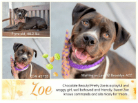 "Beautiful, Children, and Click: d, 48.2 lbs  D# 45755  Waiting on Lo  Brooklyn ACC  00  Chocolate Beauty! Pretty Zoe is a playful and  waggy girl, well behaved and friendly. Sweet Zoe  knows commands and sits nicely for treats TO BE KILLED 11/9/18  Very Pretty Chocolate Pup at Brooklyn ACC! Beautiful, middle-aged Zoe is a playful, friendly and waggy girl, a well behaved cutie, who loves to run after a ball - and even more loves to sit for delicious treats. Zoe also knows the command for ´down´ and seems to be housetrained as well. Please share pretty Zoe for a loving furever!  A volunteer writes: On a friendliness scale of 1-10, Zoe would score a 50! Just the sight of someone approaching gets her all wiggly and waggly, and happy and excited. When going for a walk, she occasionally jumps up in these adorable little spurts of joy. Zoe is also considerate of her human friends - when you give her treats (which she absolutely loves!), she takes them in a gentle manner, always being careful to avoid your fingers. And if you're the active type, then this exuberant girl could be a great match! If you'd like to meet this sweet little love-muffin, come on down to the Brooklyn ACC shelter, where's she patiently awaiting her forever home.  VIDEO: https://www.youtube.com/watch?v=vrQ7OoCK9WA  Zoe ID# 45755 Brooklyn ACC 7 yrs old, 48.2 lbs Chocolate / White Female  Medium Mixed Breed Cross Found Stray Intake Date: 10-28-2018  SHELTER ASSESSMENT ~ EXPERIENCED HOME No young children (under 5)  INTAKE NOTES  This animal came from: Found Stray  Basic Information: Alana was found as a stray on the street last night. Client was unable to keep her.  Previously lived with: Unknown  How is this dog around strangers? When a stranger approaches Alana, she is friendly and wiggly  BEHAVIOR NOTES  Upon Intake Behavior during intake: Alana had a soft and wiggly body during intake. Counselor was able to scan for a microchip, collar and take a picture without any issues.  Means of surrender (length of time in previous home): Stray  Behavior toward strangers: Friendly and wiggly  SAFER SCORES: Date of assessment: 30-Oct-2018  Look: 2. Dog pulls out of Assessor's hands each time without settling during three repetitions.  Sensitivity: 1. Dog leans into the Assessor, eyes soft or squinty, soft and loose body, open mouth.  Tag: 1. Dog follows at the end of the leash, body soft.  Paw squeeze 1: 1. Dog does not respond at all for three seconds. Eyes are averted and ears are relaxed or back.  Paw squeeze 2: 1. Dog does not respond at all for three seconds. Eyes are averted and ears are relaxed or back.  Toy: 1. Minimal interest in toy, dog may smell or lick, then turns away.  Summary:  Zoe came into the assessment room loose and wiggly, she was very anxious and energetic towards the handlers.  Summary (1):  Zoe was brought in as a stray so her behavior around other dogs is unknown.  10/29: When off leash at the Care Center, Zoe enters the yard with high-pitched whines and high energy. She jumps on the gate when the other dog approaches but remains wiggly. Once the gate is open she charges towards the greeter dog with hyper-motivation to interact. She leaps on him, play bows and chases after him. She is tolerant when he body slams her into the fence and when he gives her a low grumble communicating his discomfort with her extreme energy.  10/30: Zoe continued to be hyper-motivated, escalating to lunging and snarling when the other dog jumps on her.  Date of intake: 28-Oct-2018 Summary: Loose and wiggly, allowed all handling.  Date of initial: 29-Oct-2018 Summary: Very sweet and allowed handling.  ENERGY LEVEL:  Zoe displays a very high activity level in the care center.  BEHAVIOR DETERMINATION:  EXPERIENCE (suitable for an adopter with some previous dog experience, especially with the behaviors outlined below)  Recommendations:  No young children (under 5)  Recommendations comments:  No young children: Due to the behavior seen in the care center, we feel that Zoe may be intimidated for young children. Due to her very high energy level and have no basic manner control.  Potential challenges:  Anxiety  Potential challenges comments:  Anxiety: Zoe has shown some signs of potential anxiety in the care center, vocalizing (whining, panting, pacing back and forth) continually through the SAFER and through play sessions outside. This behavior was not reported at intake, and we have no known history on Zoe, so we cannot be certain whether similar behavior will be seen in a future home environment.  MEDICAL EXAM NOTES  29-Oct-2018 Spay-Neuter Waiver Documentation  [Spay/Neuter Waiver - Medical Condition]  Your newly adopted is currently permanently waived from the spay/neuter requirements of the City of NY by the staff veterinarians due to mass. Follow up care at your regular veterinarian is recommended to ensure continued treatment. Your veterinarian will advise you if surgical sterilization is appropriate.  29-Oct-2018 DVM Intake Exam  Estimated age: ~7-9 years Microchip noted on Intake? positive 985112006771692 History : stray, possible RTO  Subjective: BARH Observed Behavior - very sweet. Energetic. Did well for all medical handling and procedures. Evidence of Cruelty seen - no Evidence of Trauma seen - no  Objective  P = wnl  R = eupneic  BCS 4/9 EENT: Eyes have early aging changes in the lens, ears clean, serous nasal discharge noted Oral Exam: adult dentition with moderate tartar, no oral lesions noted PLN: No enlargements noted H/L: NSR, NMA, CRT < 2, Lungs clear, eupneic ABD: Non painful, no masses palpated U/G: FI, no vulvar d/c MSI: Ambulatory x 4, skin free of parasites, healthy hair coat, ~3cm soft tissue mass on ventrum just left of the umbilicus on the left side CNS: mentation appropriate - no signs of neurologic abnormalities  Assessment: Mass on ventrum r/o MGT vs umbilical hernia  Plan: Continue to monitor while at BACC Rec BW, AXR +/- biopsy to assess mass vs hernia  Prognosis: Fair to good  SURGERY: permanent waiver due to mass  * TO FOSTER OR ADOPT *   HOW TO RESERVE A ""TO BE KILLED"" DOG ONLINE (only for those who can get to the shelter IN PERSON to complete the adoption process, and only for the dogs on the list NOT marked New Hope Rescue Only). Follow our Step by Step directions below!   PLEASE NOTE – YOU MUST USE A PC OR TABLET – PHONE RESERVES WILL NOT WORK! *  STEP 1: CLICK ON THIS RESERVE LINK: https://newhope.shelterbuddy.com/Animal/List  Step 2: Go to the red menu button on the top right corner, click register and fill in your info.   Step 3: Go to your email and verify account  \ Step 4: Go back to the website, click the menu button and view available dogs   Step 5: Scroll to the animal you are interested and click reserve   STEP 6 ( MOST IMPORTANT STEP ): GO TO THE MENU AGAIN AND VIEW YOUR CART. THE ANIMAL SHOULD NOW BE IN YOUR CART!  Step 7: Fill in your credit card info and complete transaction   HOW TO FOSTER OR ADOPT IF YOU CANNOT GET TO THE SHELTER IN PERSON, OR IF THE DOG IS NEW HOPE RESCUE ONLY!   You must live within 3 – 4 hours of NY, NJ, PA, CT, RI, DE, MD, MA, NH, VT, ME or Norther VA.   Please PM our page for assistance. You will need to fill out applications with a New Hope Rescue Partner to foster or adopt a dog on the To Be Killed list, including those labelled Rescue Only. Hurry please, time is short, and the Rescues need time to process the applications."