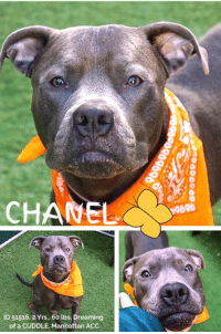 "Best Friend, Click, and Cute: D 51516,2 Yrs., 60 lbs, Dreaming  of a CUDDLE, Manhattan ACC *** TO BE KILLED - 1/10/2019 ***  Ooh la la! Hunky, magnificent, Chanel has our hearts beating a mile a minute! And even though he is very manly, he doesn't mind if the other boys see getting pets and cuddles from the volunteers. A heart of gold wrapped in a gleaming pewter coat, this youngster is dreaming of a forever family to love! A volunteer writes: ""I do like cute and small pooches but once in a while, I fancy a big dog, proud looking and handsome like Chanel. A two year old gent we have at the Manhattan Care Center. Chanel is calm passing in front of his kennel mates. He is focused on one thing, his walk and relieving himself. He seems to have been well trained, coming when called, sitting right away on command, taking politely treats from my hand and even hopping on a bench next to me. He is definitively very manly looking but is not ignoring caresses and even seeks togetherness. There is clearly a tender heart hiding under his tough looks! It is just for you to unveil his soft spot!. Chanel is an energetic youngster who likes to run and play. He loves to chase a ball but we are not yet fully acquainted for him to make a game out of it. Chanel is a gorgeous and strong young man who has the potential to be a most wonderful pet and forever best friend in experienced hands. I know a perfect match exists out there! Chanel is waiting for you!!!"" MESSAGE our page or email us at MustLoveDogsNYC@gmail.com right now for assistance fostering or adopting this gorgeous boy!   CHANEL, ID # 51516, @ 2 Yrs. Old, 60 lbs. Manhattan ACC, Large Mixed Breed, Gray, Male Owner Surrender Reason:  Shelter Assessment Rating: EXPERIENCE Medical Behavior Rating: 1. GREEN  OWNER SURRENDER NOTES - BASIC INFORMATION: Chanel is a 2 year old large mixed breed dog who has lived with his family all his life. He lived with 1 adult and 1 dogs. When meeting strangers, Chanel is friendly. Chanel is said to be relaxed with the small dog in the home, but not good with other dogs. Chanel has no resource guarding issues. Last month Chanel got out of the house and bit another dog. Severity of the bite is not known. Chanel is housetrained. He is friendly and energetic with a very high level of activity.  SHELTER ASSESSMENT - Date of assessment: 31-Dec-2018  Look: 1. Dog leans forward or jumps up to lick the Assessor's face with tail wagging, ears back and eyes averted.  Sensitivity: 1. Dog stands still and accepts the touch, eyes are averted, and tail is in neutral position with a relaxed body posture. Dog's mouth is likely closed for at least a portion of the assessment item.  Tag: 1. Dog assumes play position and joins the game. Or dog indicates play with huffing, soft 'popping' of the body, etc. Dog might jump on Assessor once play begins.  Paw squeeze 1: 1. Dog does not respond at all for three seconds. Eyes are averted and ears are relaxed or back.  Paw squeeze 2: 1. Dog does not respond at all for three seconds. Eyes are averted and ears are relaxed or back.  Flank squeeze 1: Item not conducted Flank squeeze 2: Item not conducted  Toy: 1. Minimal interest in toy, dog may smell or lick, then turns away.  Summary: Chanel approached the assessor with a soft body and jumped up in a social manner. He jumped up a few times during the assessment, was social throughout, and allowed all handling.  PLAYGROUP NOTES - DOG TO DOG SUMMARIES: Due to reported bite history involving another dog, Chanel is muzzled before off leash introduction. When introduced off leash, Chanel follows while attempting to mount. When solicited with play, he initially appears tense, then continues to follow with attempts to mount. Careful future introductions are recommended- Chanel has been reported to have bitten another dog outdoors, with more further details unknown. He has also been reported to have successfully lived with a smaller resident dog.  INTAKE BEHAVIOR - Date of intake: 29-Dec-2018. Summary: Loose body, allowed handling.  MEDICAL BEHAVIOR - Date of initial: 29-Dec-2018 Summary: Allowed handling.  ENERGY LEVEL: Chanel is described as having a very high level of activity. He is a young, enthusiastic, social dog who will need daily mental and physical activity to keep him engaged and exercised. We recommend long-lasting chews, food puzzles, and hide-and-seek games, in additional to physical exercise, to positively direct his energy and enthusiasm.  BEHAVIOR DETERMINATION: EXPERIENCE (suitable for an adopter with some previous dog experience, especially with the behaviors outlined below)  Behavior Asilomar TM - Treatable-Manageable  Recommendations comments: Due to Chanel's history of running out of the house and biting another dog, we recommend an experienced dog home.  Potential challenges: Basic manners/poor impulse control  Potential challenges comments: Basic manners/poor impulse control: Chanel jumps up on people socially. It is recommended that default behaviors such as ""Leave it"", ""Sit/Stay"", ""Down"" are reinforced to substitute any frustration and teach him to control his impulses instead of simply reacting; proper management is also advised. Force-free, reward based training only is recommended.  MEDICAL EXAM NOTES   DVM Intake Exam. Estimated age: 2 yrs., Microchip noted on Intake? n. Microchip Number (If Applicable): n. History : Owner Surrender. Subjective: BARH. Observed Behavior : allowed for full PE. Evidence of Cruelty seen -n Evidence of Trauma seen -n. Objective: T = - , P = wnl, R = wnl, BCS = 5/9. EENT: Eyes clear, ears clean, no nasal or ocular discharge noted. Oral Exam: teeth in good cond PLN: No enlargements noted. H/L: NSR, NMA, CRT < 2, Lungs clear, eupnic. ABD: Non painful, no masses palpated. U/G: Two descended testicles. MSI: ambulatory x 4, skin free of parasites, no masses noted, healthy hair coat. CNS: Mentation appropriate - no signs of neurologic abnormalities. Rectal: externally normal Assessment: Healthy.   SURGERY: Okay for surgery   Prognosis: Excellent  * TO FOSTER OR ADOPT *   HOW TO RESERVE A ""TO BE KILLED"" DOG ONLINE (only for those who can get to the shelter IN PERSON to complete the adoption process, and only for the dogs on the list NOT marked New Hope Rescue Only). Follow our Step by Step directions below!   PLEASE NOTE – YOU MUST USE A PC OR TABLET – PHONE RESERVES WILL NOT WORK! *  STEP 1: CLICK ON THIS RESERVE LINK: https://newhope.shelterbuddy.com/Animal/List  Step 2: Go to the red menu button on the top right corner, click register and fill in your info.   Step 3: Go to your email and verify account  \ Step 4: Go back to the website, click the menu button and view available dogs   Step 5: Scroll to the animal you are interested and click reserve   STEP 6 ( MOST IMPORTANT STEP ): GO TO THE MENU AGAIN AND VIEW YOUR CART. THE ANIMAL SHOULD NOW BE IN YOUR CART!  Step 7: Fill in your credit card info and complete transaction   HOW TO FOSTER OR ADOPT IF YOU CANNOT GET TO THE SHELTER IN PERSON, OR IF THE DOG IS NEW HOPE RESCUE ONLY!   You must live within 3 – 4 hours of NY, NJ, PA, CT, RI, DE, MD, MA, NH, VT, ME or Norther VA.   Please PM our page for assistance. You will need to fill out applications with a New Hope Rescue Partner to foster or adopt a dog on the To Be Killed list, including those labelled Rescue Only. Hurry please, time is short, and the Rescues need time to process the applications."