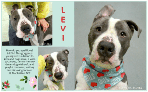 Cats, Children, and Dogs: D#61 365  How do you spell love?  L-E-V-I! This gorgeous  youngster is a friend to  kids and dogs alike, a well-  socialized, family-friendly  dreamdog with soft and  playful manners, waiting  for his loving forever  @ Manhattan ACC  1-3 yrs old, 45.2 lbs INTAKE DATE: 04-29-2019  Family-friendly dream dog! <3   **** ACC FOSTER CARE ****  Levi HAS BEEN PLACED IN THE FOSTER CARE PROGRAM THROUGH THE SHELTER but CAN be returned at ANY TIME. For more information or to adopt, please EMAIL foster@nycacc.org - SUBJECT Line: Enter Dogs name & animal ID number - Don't forget to add your email address and phone numbers where they can reach you to your email as well. Thank you for caring. <3  A volunteer writes:  How do you spell love? L-E-V-I! This gorgeous youngster is a friend to kids, dogs and strangers alike and his soft and playful manners are welcomed with open arms wherever he goes. Levi previously lived with 4 children aged from 8 months to 7 years and was wonderful with them, joyful and bouncy in all the best ways and always happy to share his toys. He'd enjoy play dates with his doggie cousin when she visited and has been having a ball with fellow pups at the Care Center too. Levi's hobbies include slow walks on leash and running around in wide open spaces, fetching and chewing on toys and being lavished with petting by anyone, anywhere, any time. He's even cool with taking a bath! Crate trained, well-socialized and already a pro with come, sit and stay commands, you simply couldn't ask for a more family-friendly dream dog than Levi. To meet him once is to love him forever and that's just we hope you'll do!  MY MOVIE: Levi and Ella in Playgroup  https://youtu.be/jJ-BjbURbsg  LEVI, ID# 61365, 1-3 yrs old, 45.2 lbs, Manhattan Animal Care Center, Medium Mixed Breed Cross, Gray / White Male, Owner Surrender Reason:  Shelter Assessment Rating:  Medical Behavior Rating: Green  MEDICAL EXAM NOTES  DVM Intake Exam Estimated age: 2-3y Microchip noted on Intake? no Microchip Number (If Applicable): History : stray Subjective: bar  Observed Behavior - friendly, not trying to flee, bite, or scratch, likes petting  Evidence of Cruelty seen - no Evidence of Trauma seen - no Objective  T = P =160 R = nsf BCS 7-8/9 EENT: Eyes clear, ears clean, no nasal or ocular discharge noted Oral Exam: excellent condition PLN: No enlargements noted H/L: NSR, NMA, CRT < 2, Lungs clear, eupnic ABD: Non painful, no masses palpated U/G: fs MSI: Ambulatory x 4, skin free of parasites, no masses noted,sl dry haircoat CNS: Mentation appropriate - no signs of neurologic abnormalities Rectal:ne Assessment: 2-3 yr fs dsh 1) overconditioned by 3-4# 2) dry haircoat secondary to size Prognosis:excellent Plan: 1) reduction diet (purina om vs hill's metabolic)   * TO FOSTER OR ADOPT *   If you would like to adopt a NYC ACC dog, and can get to the shelter in person to complete the adoption process, you can contact the shelter directly. We have provided the Brooklyn, Staten Island and Manhattan information below. Adoption hours at these facilities is Noon – 8:00 p.m. (6:30 on weekends)  If you CANNOT get to the shelter in person and you want to FOSTER OR ADOPT a NYC ACC Dog, you can PRIVATE MESSAGE our Must Love Dogs page for assistance. PLEASE NOTE: You MUST live in NY, NJ, PA, CT, RI, DE, MD, MA, NH, VT, ME or Northern VA. You will need to fill out applications with a New Hope Rescue Partner to foster or adopt a NYC ACC dog. Transport is available if you live within the prescribed range of states.  Shelter contact information: Phone number (212) 788-4000 Email adopt@nycacc.org  Shelter Addresses: Brooklyn Shelter: 2336 Linden Boulevard Brooklyn, NY 11208 Manhattan Shelter: 326 East 110 St. New York, NY 10029 Staten Island Shelter: 3139 Veterans Road West Staten Island, NY 10309  * NEW NYC ACC RATING SYSTEM *  Level 1 Dogs with Level 1 determinations are suitable for the majority of homes. These dogs are not displaying concerning behaviors in shelter, and the owner surrender profile (where available) is positive. Some dogs with Level 1 determinations may still have potential challenges, but these are challenges that the behavior team believe can be handled by the majority of adopters. The potential challenges could include no young children, prefers to be the only dog, no dog parks, no cats, kennel presence, basic manners, low level fear and mild anxiety.   Level 2  Dogs with Level 2 determinations will be suitable for adopters with some previous dog experience. They will have displayed behavior in the shelter (or have owner reported behavior) that requires some training, or is simply not suitable for an adopter with minimal experience. Dogs with a Level 2 determination may have multiple potential challenges and these may be presenting at differing levels of intensity, so careful consideration of the behavior notes will be required for counselling. Potential challenges at Level 2 include no young children, single pet home, resource guarding, on-leash reactivity, mouthiness, fear with potential for escalation, impulse control/arousal, anxiety and separation anxiety.   Level 3 Dogs with Level 3 determinations will need to go to homes with experienced adopters, and the ACC strongly suggest that the adopter have prior experience with the challenges described and/or an understanding of the challenge and how to manage it safely in a home environment. In many cases, a trainer will be needed to manage and work on the behaviors safely in a home environment. It is likely that every dog with a Level 3 determination will have a behavior modification or training plan available to them from the behavior department that will go home with the adopters and be made available to the New Hope Partners for their fosters and adopters. Some of the challenges seen at Level 3 are also seen at Level 1 and Level 2, but when seen alongside a Level 3 determination can be assumed to be more severe. The potential challenges for Level 3 determinations include adult only home (no children under the age of 13), single pet home, resource guarding, on-leash reactivity with potential for redirection, mouthiness with pressure, potential escalation to threatening behavior, impulse control, arousal, anxiety, separation anxiety, bite history (human), bite history (dog) and bite history (other).