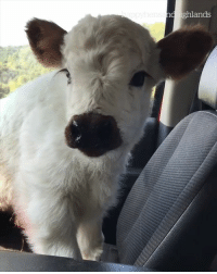 Beautiful, Happy, and Baby: d ighlands This baby cow is more beautiful than I'll ever be 😍😅  Credit: Happy Hens & Highlands Farm