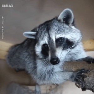 Just an average day in the life of a pet raccoon 😂😍: D TITO THE RACCOON Just an average day in the life of a pet raccoon 😂😍